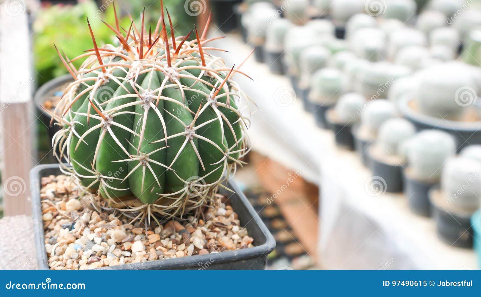 Cactus nel vaso da fiori
