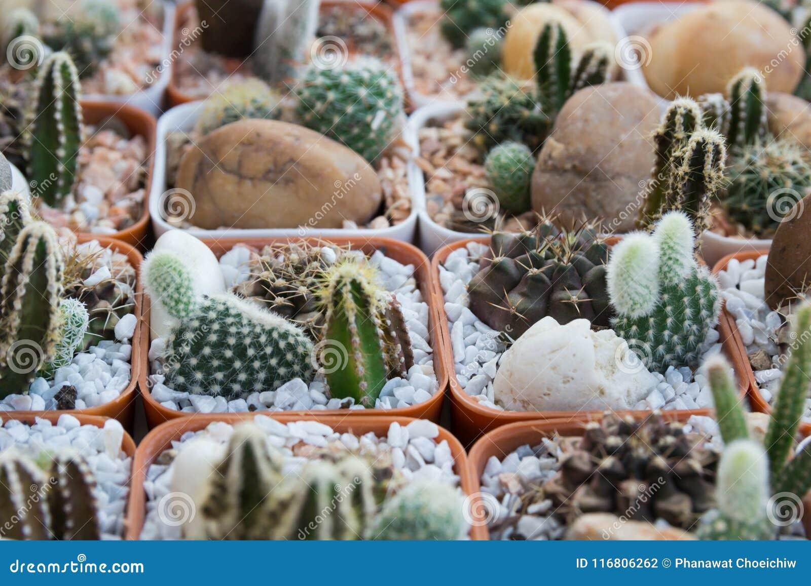 Cactus piantato nel vaso-colore