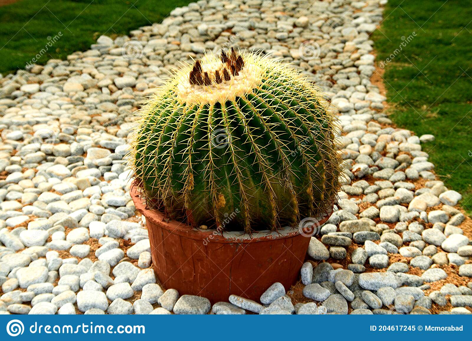 Cactus Plant In Earthen Pot Stock Image Image Of White Pebbles 204617245