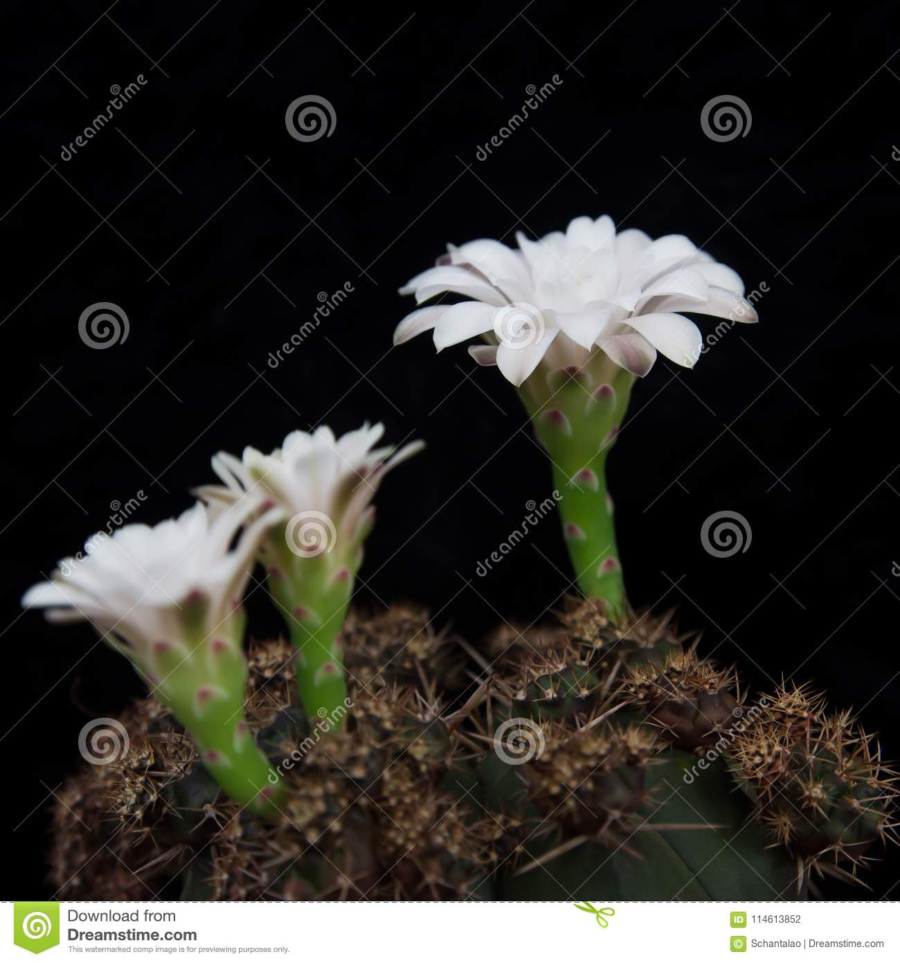 Cactus Plant With White Flowers On Black Background Stock Photo