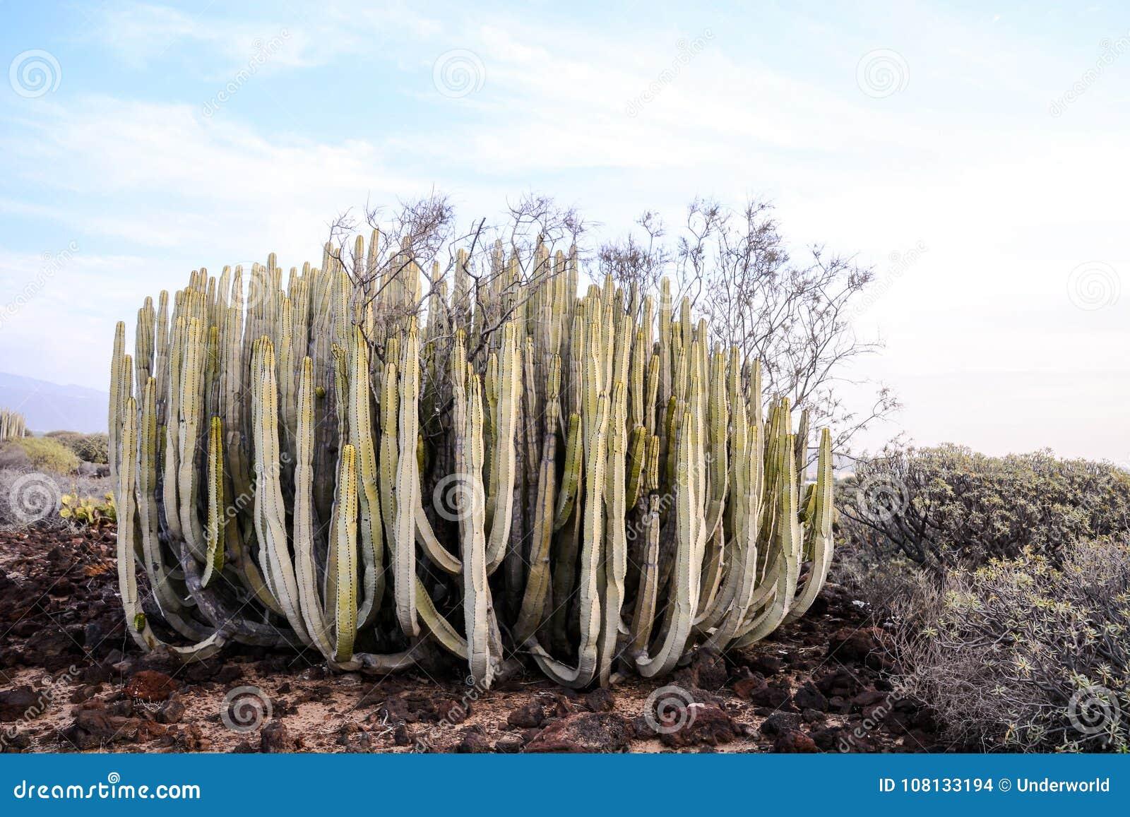 Cactus Seco Del Paisaje Del Desierto Foto De Archivo Imagen De - Cactus-seco