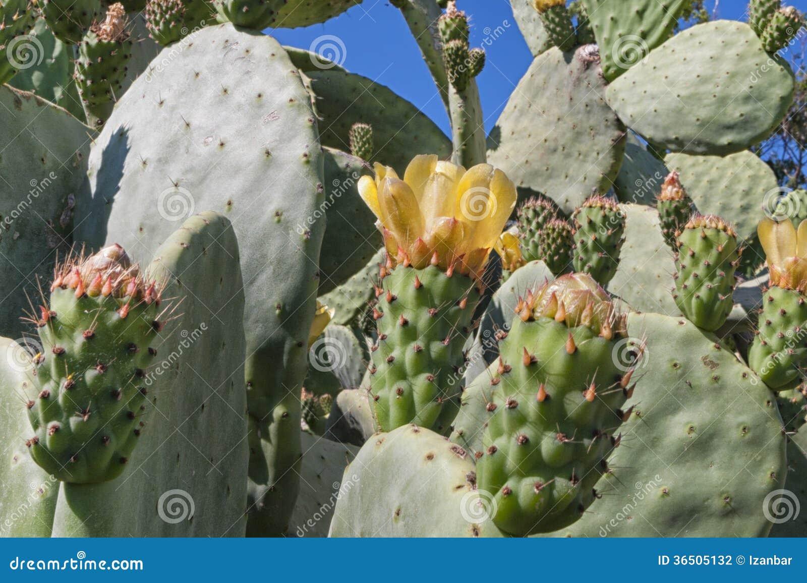 Cactus sicilien de la mer Méditerranée