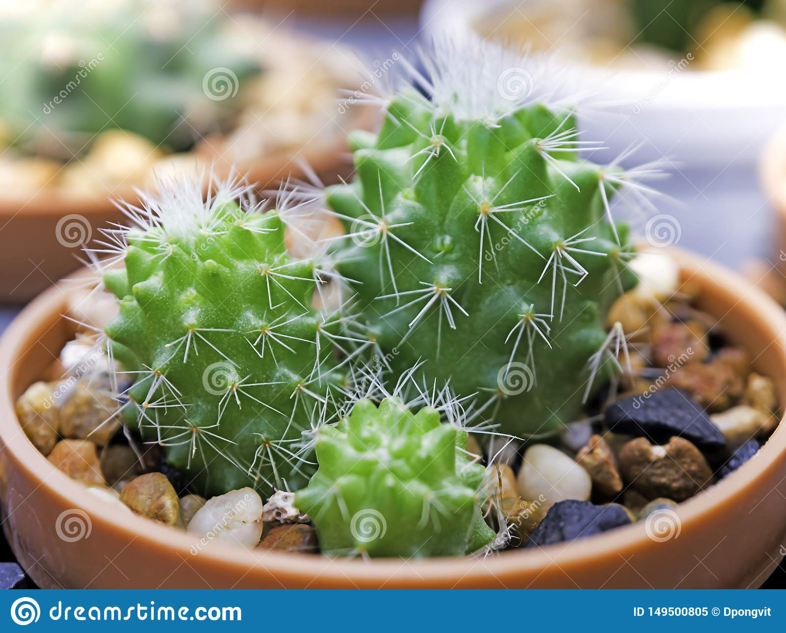 Cactus Small cute in the pot in the garden outside