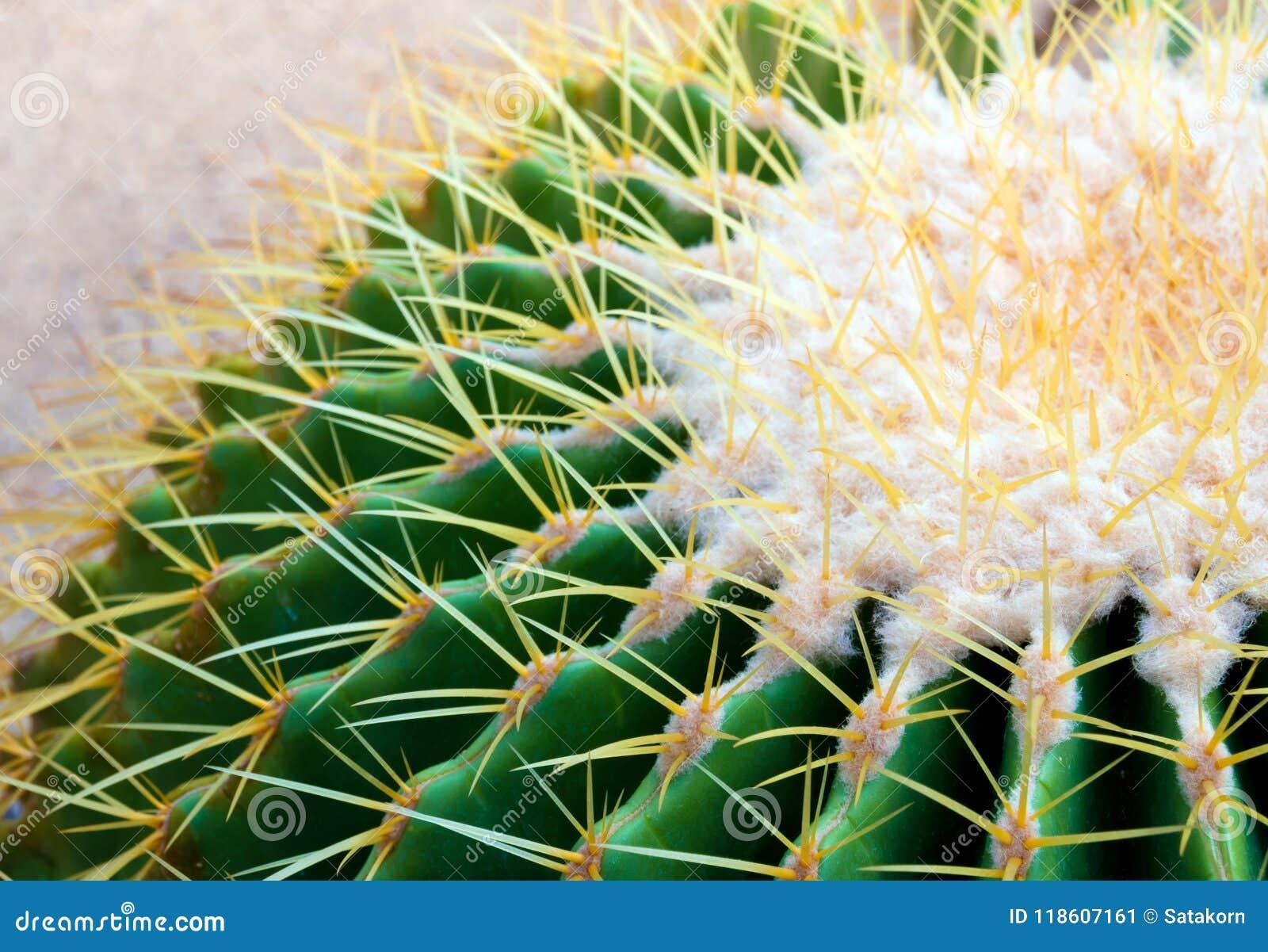 Cactus species Echinocactus grusonii, golden barrel cactus