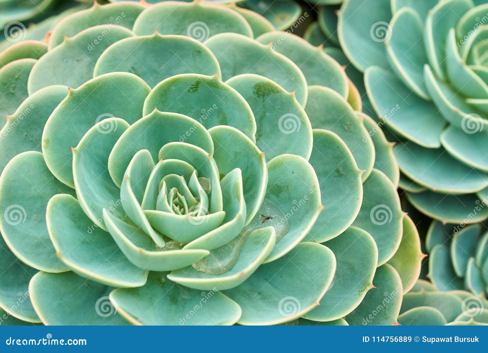 Cactus And Succulent Echeveria Crassulaceae Echeveria Spa