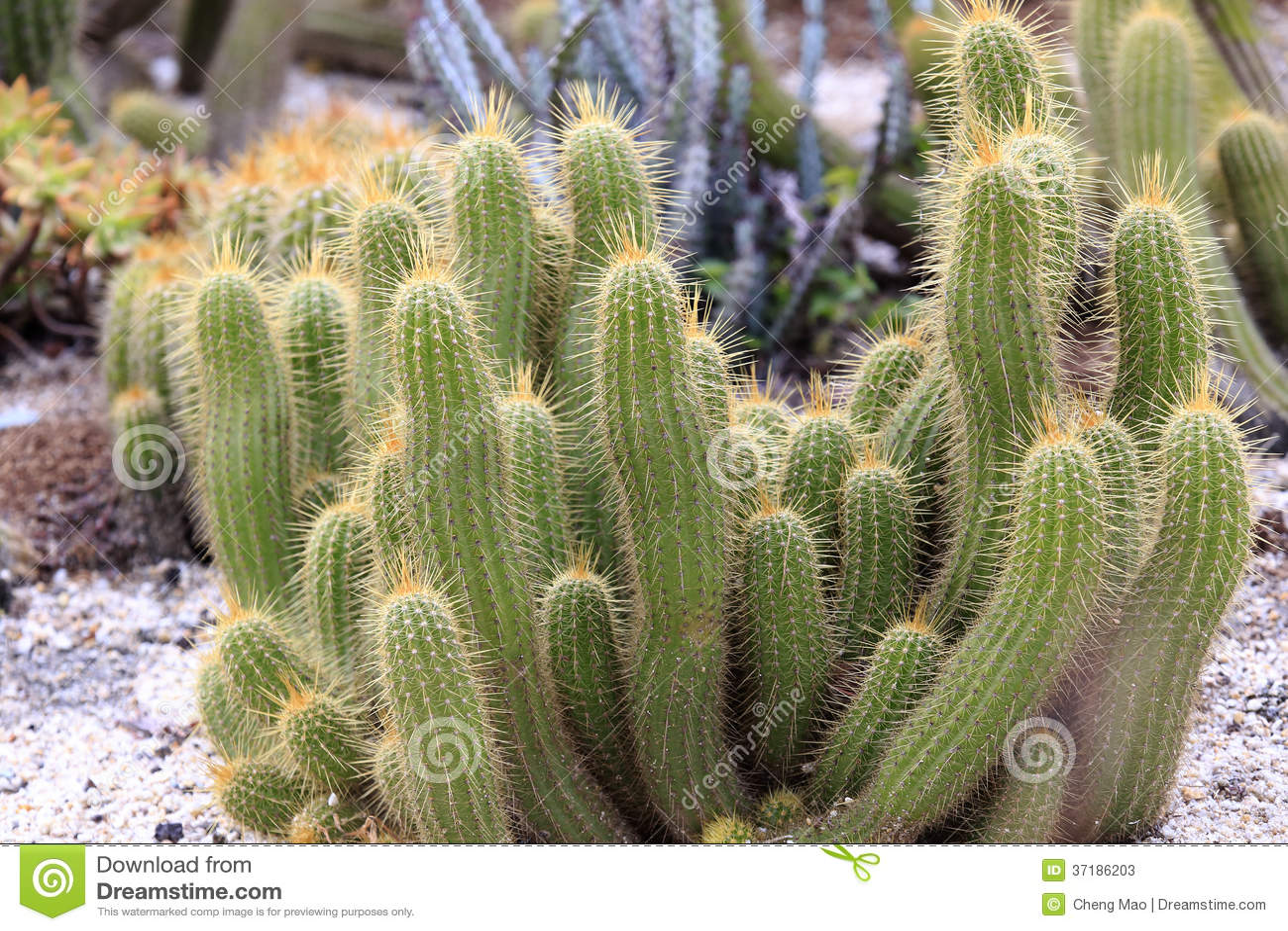 Cactus succulente della pianta immagine stock immagine for Pianta cactus