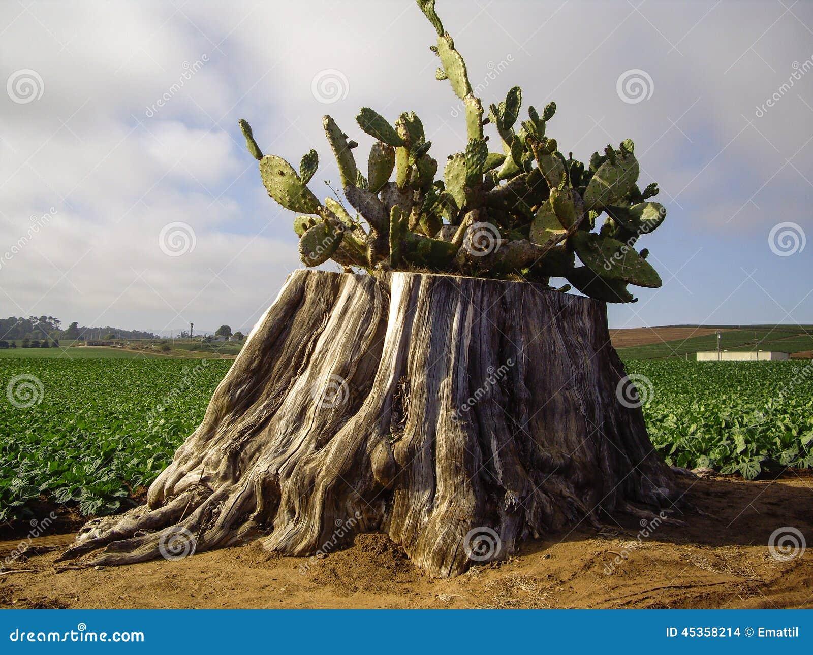 Cactus sur le tronçon d arbre dans des domaines de la Californie