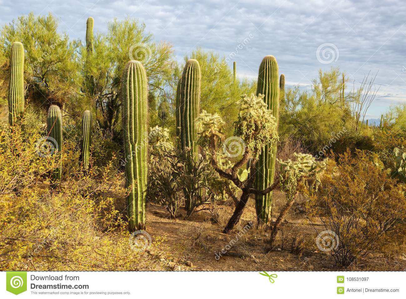 Cactus thickets in Saguaro National Park at sunset, southeastern Arizona, United States