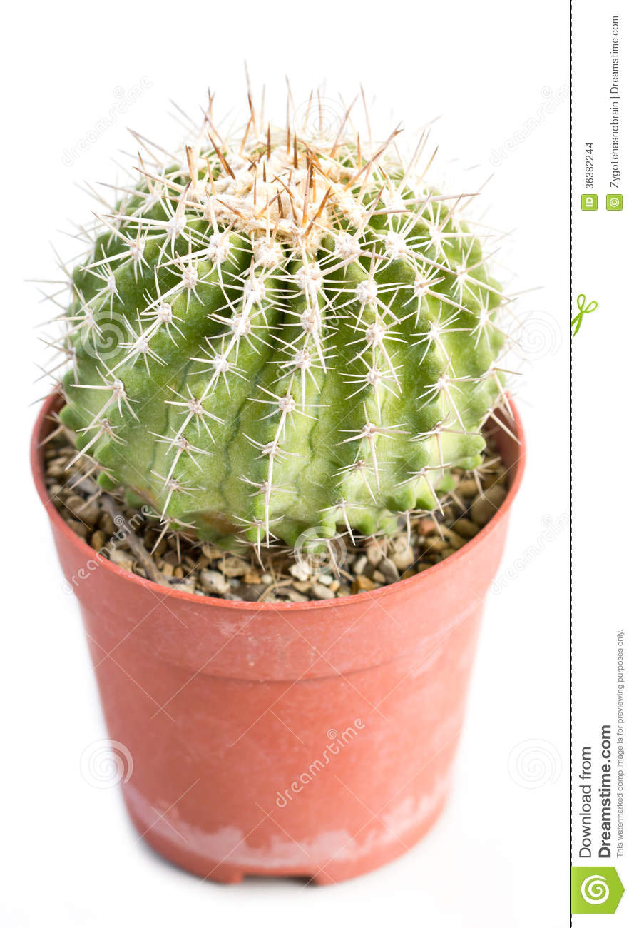 Cactus Thorns In Pot Stock Photo Image Of Brown