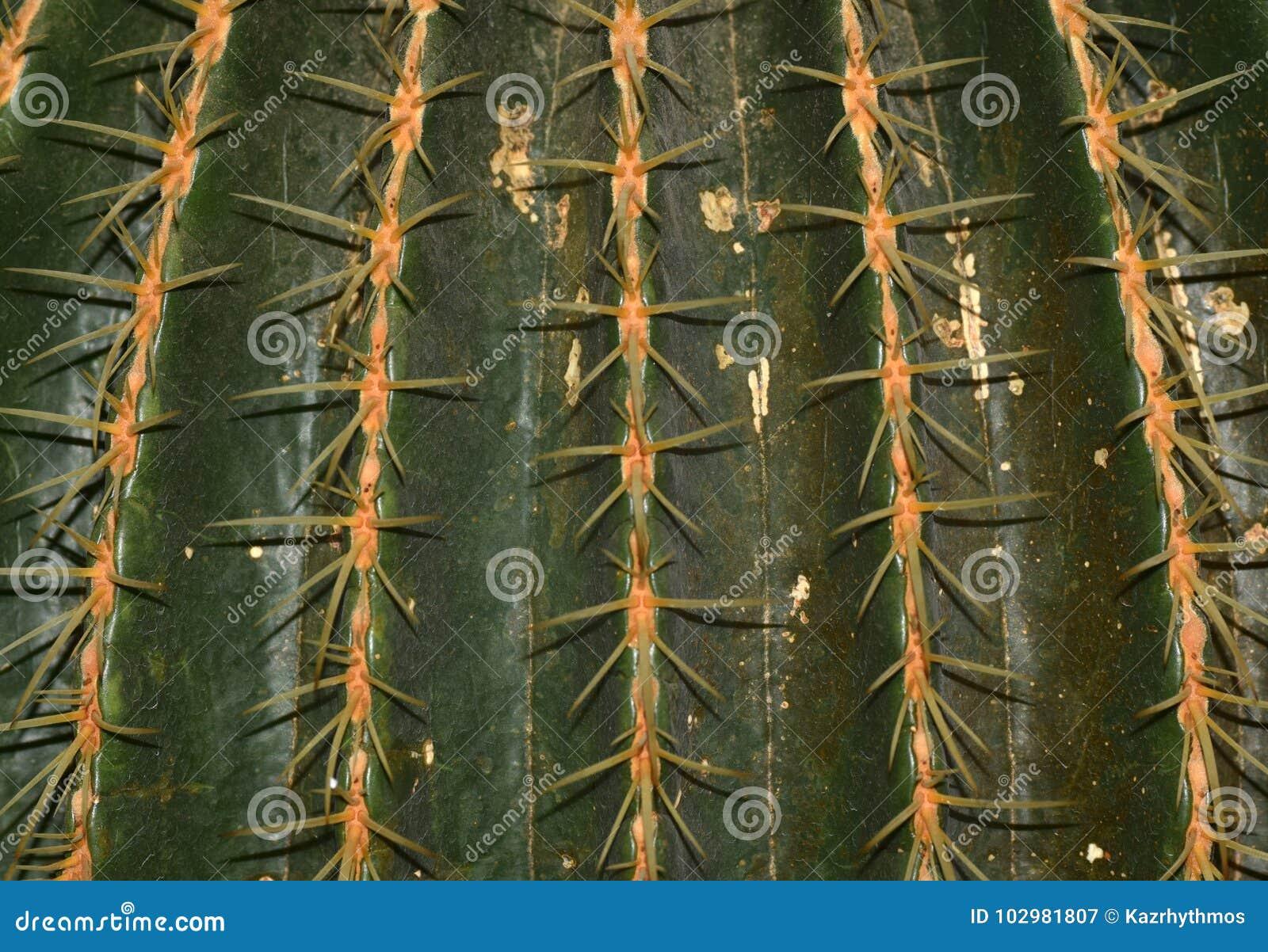 Cactus To Take In Macrolens Of Osaka. Stock Image - Image of osaka ...