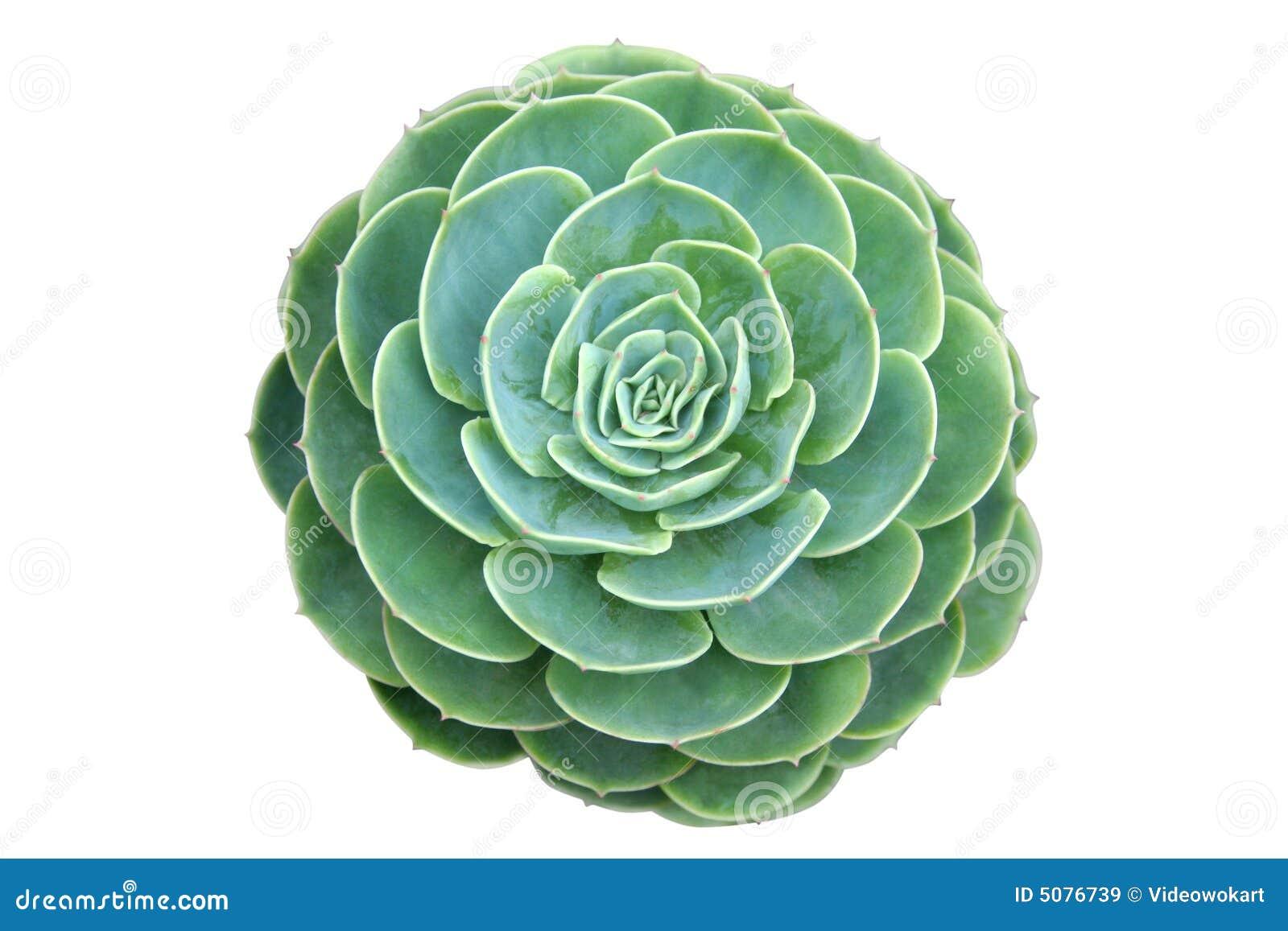 Cactus type of succulent plant