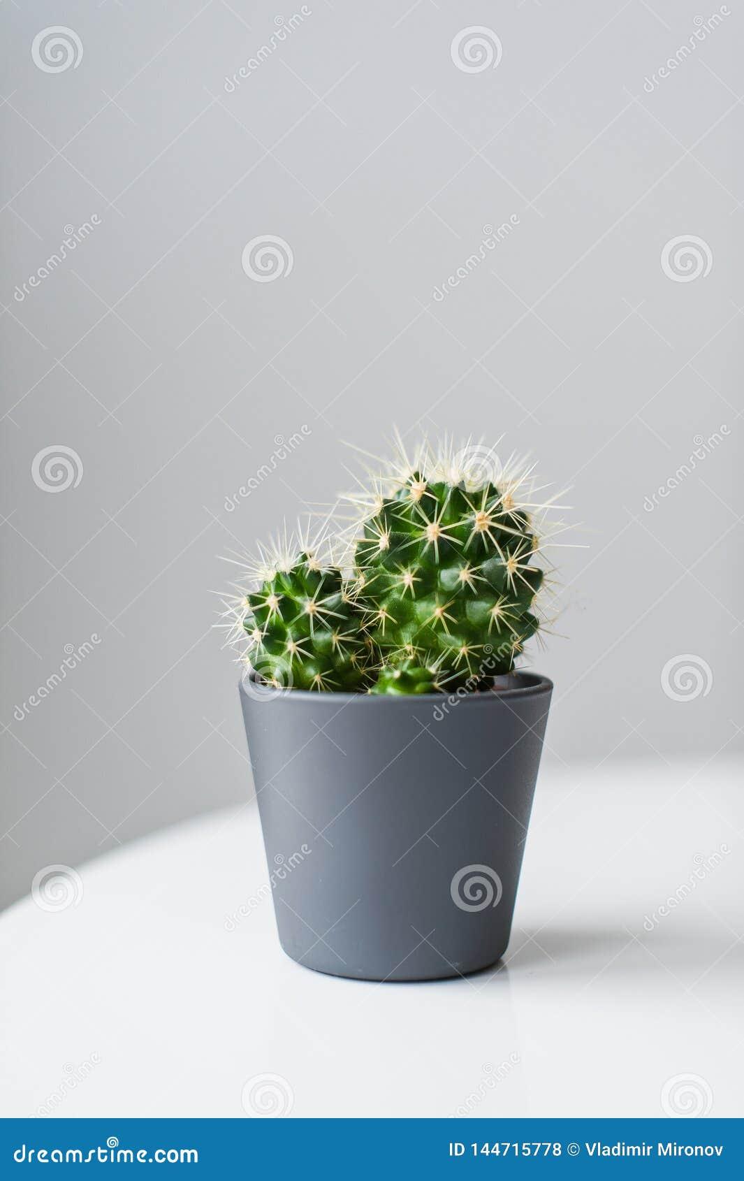Cactus verde en un fondo gris Planta nacional suculenta