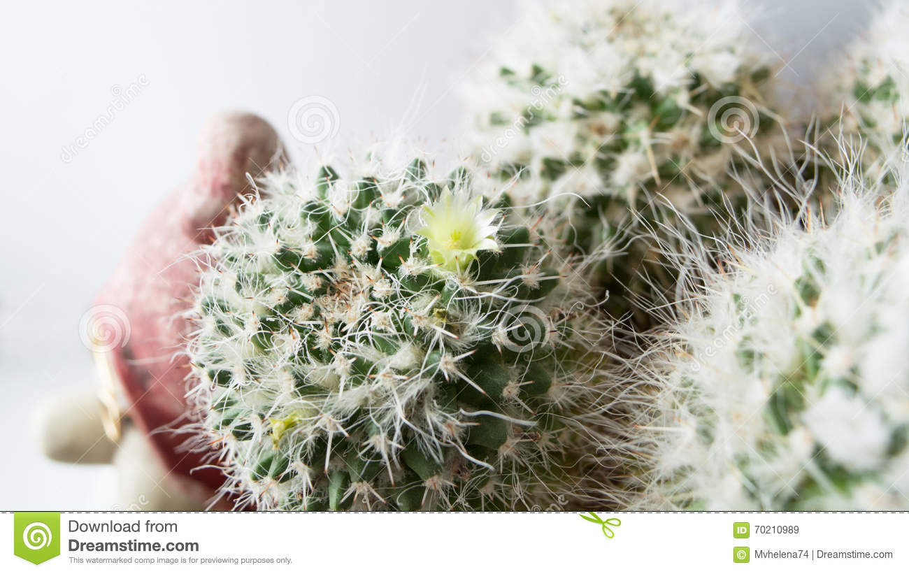 Cactus With White Flowers Stock Image Image Of Blossom 70210989