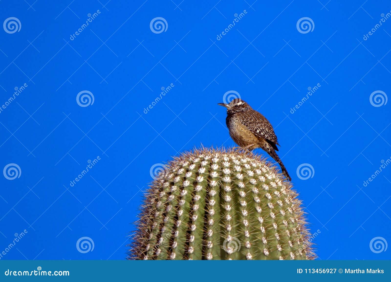 Cactus Wren en el amanecer en un cactus gigante del Saguaro en el desierto de Sonoran de Arizona meridional