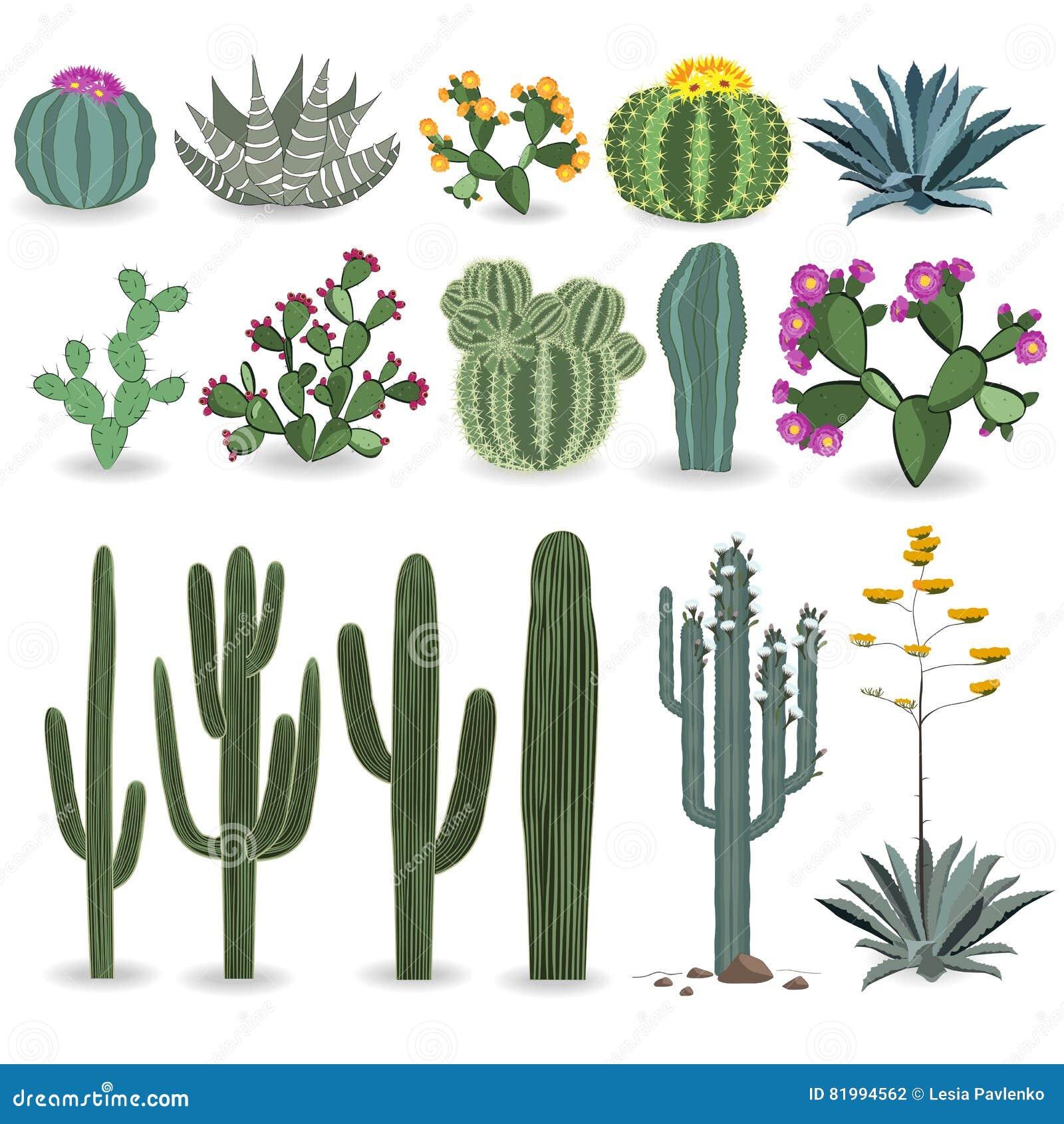 Cactus y sistema suculento del vector