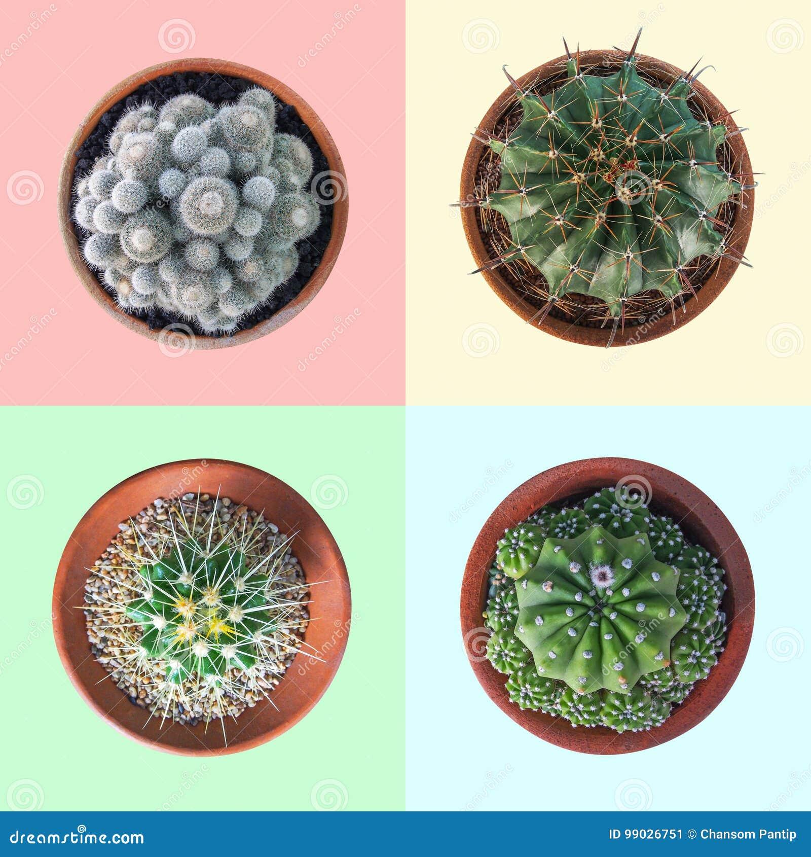 Cactusinstallatie in hoogste de meningsinzameling van de kleipot op kleurrijke pastelkleur