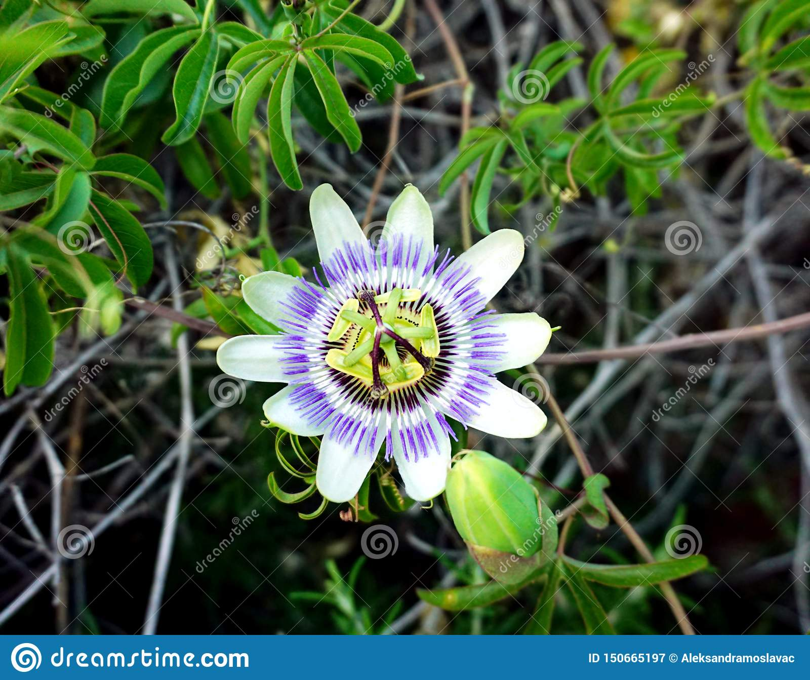Caerulea de passiflore d usine de floraison La passiflore bleue ou la fleur bleue de couronne au centre de l image
