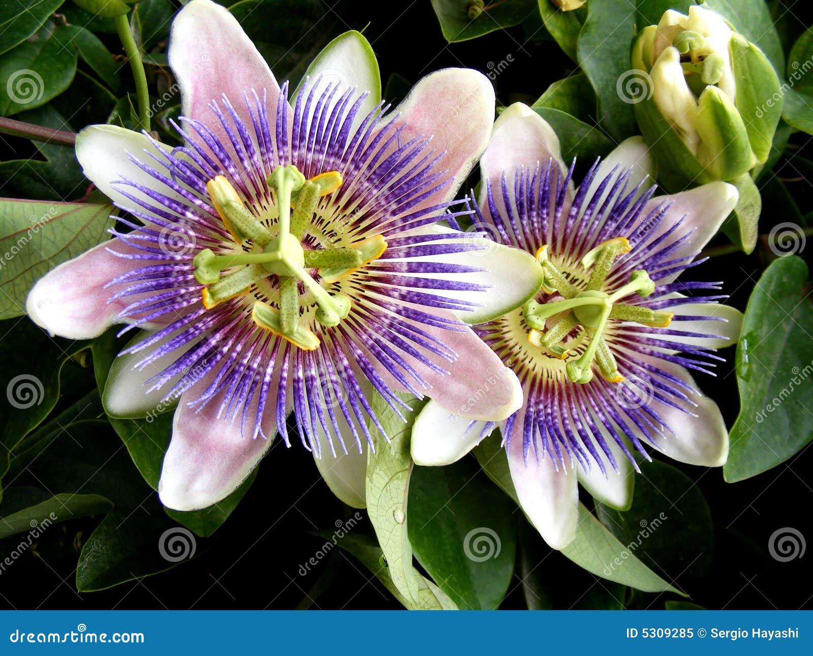 Download Caerulea della passiflora immagine stock. Immagine di fioritura - 5309285