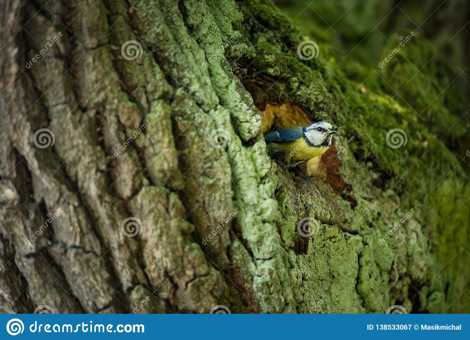 Caeruleus Cyanistes wildlife E όμορφη εικόνα ελεύθερη φύση Από τη ζωή πουλιών Άνοιξη Μπλε πουλί