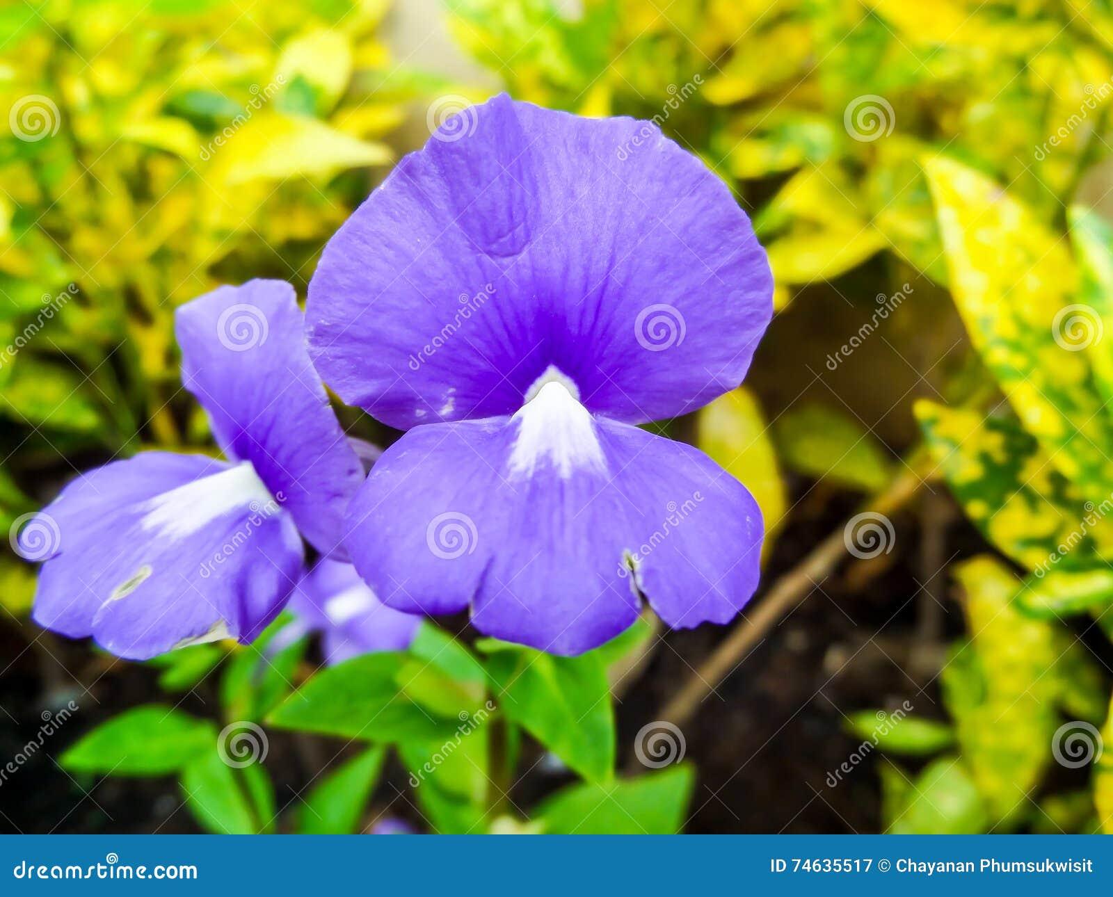 Caeruleus D Otacanthus Le Nom De La Fleur Blanche Pourpre Thailande
