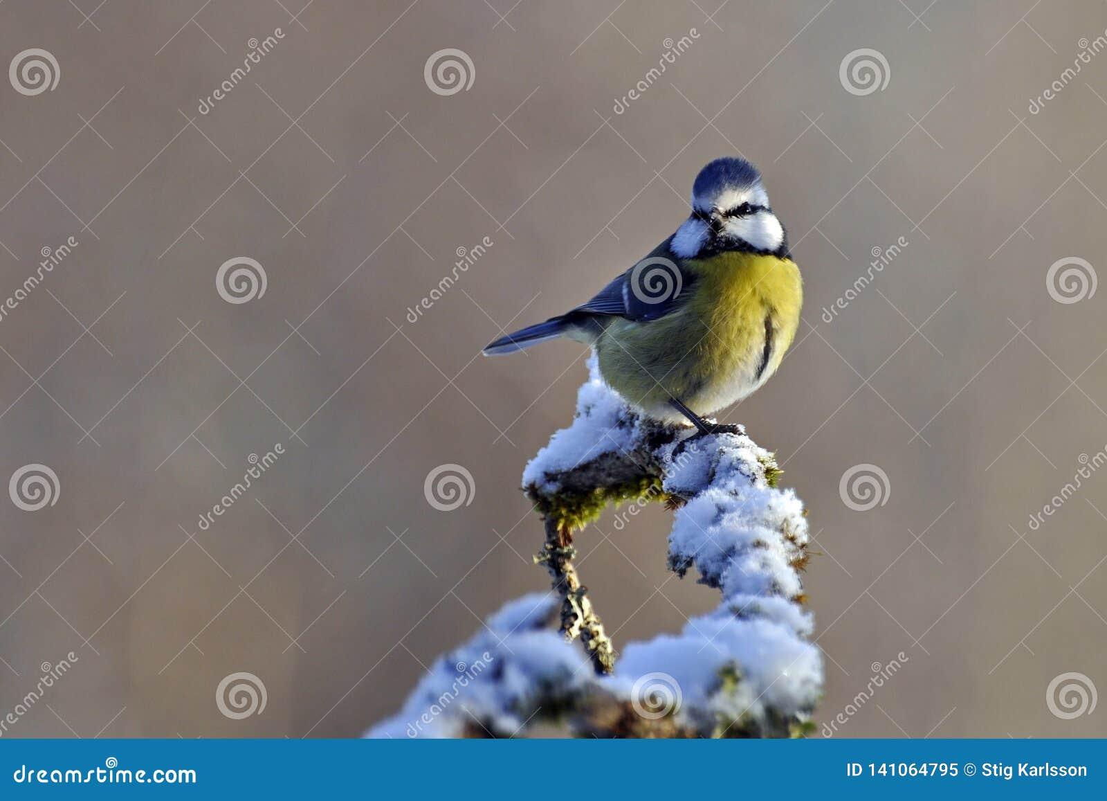 Caeruleus del Parus della cinciarella su un ramo nevoso