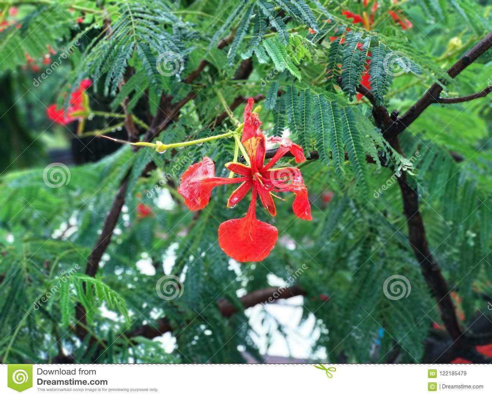 Caesalpinia Pulcherrima Royal Poinciana Flame Flower Delonix Stock