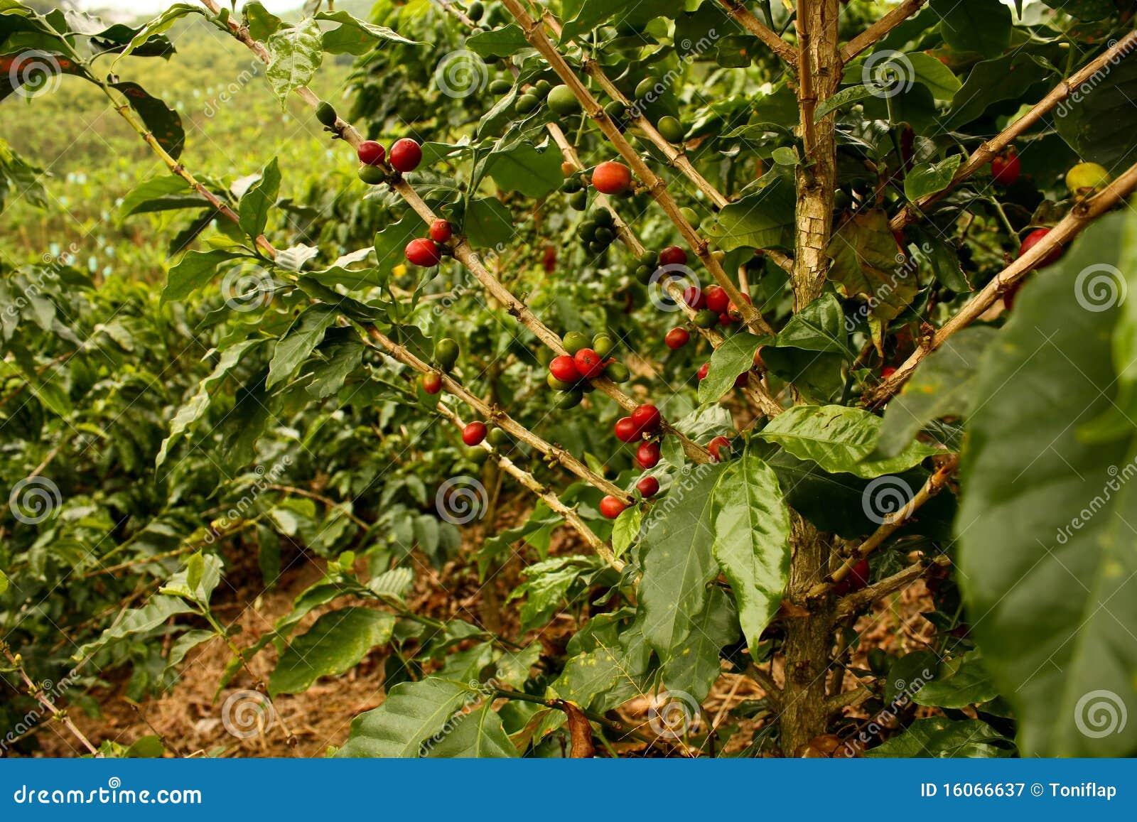 Café. Vallées andines en Colombie