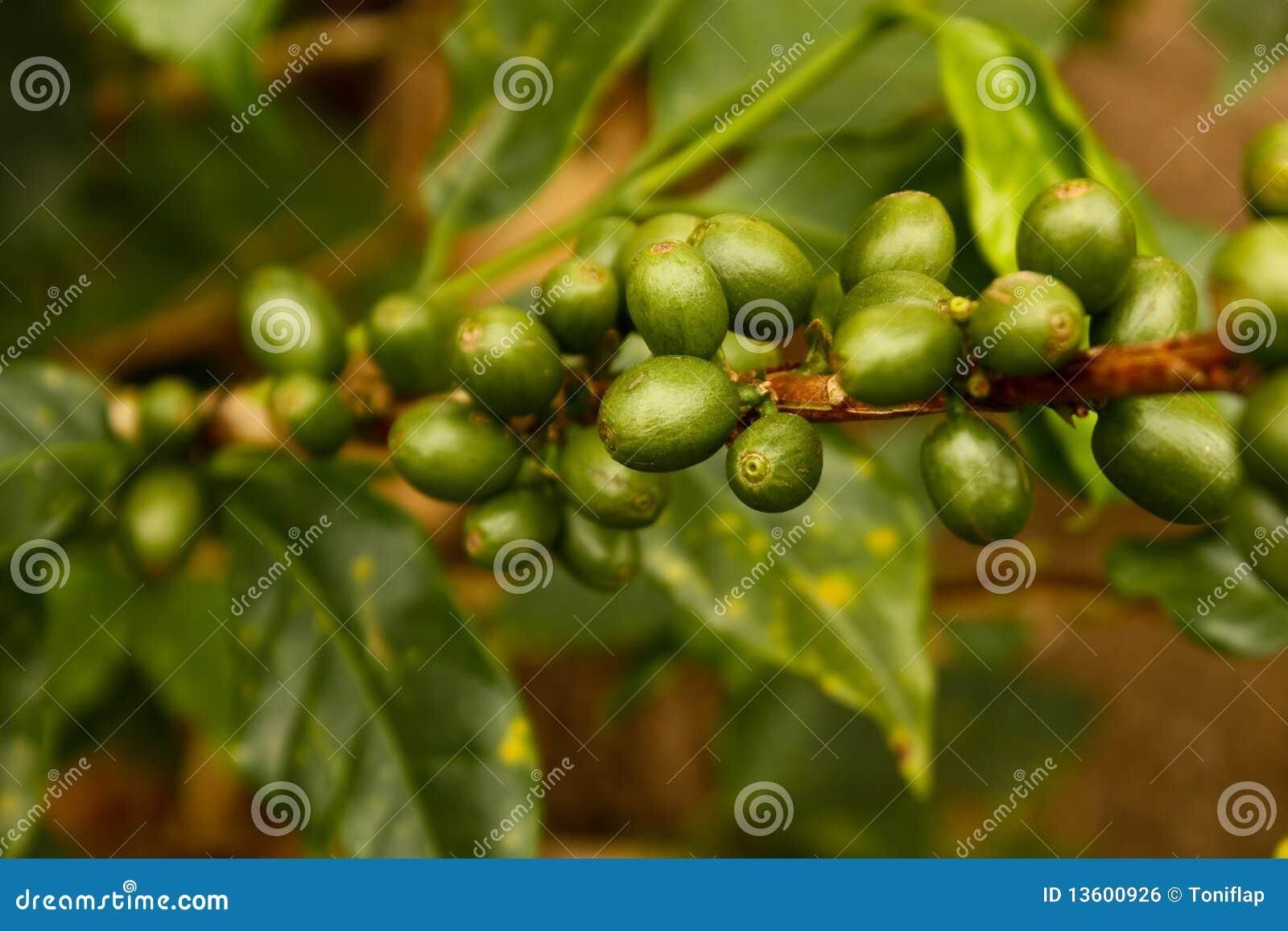 Café verde. Colômbia