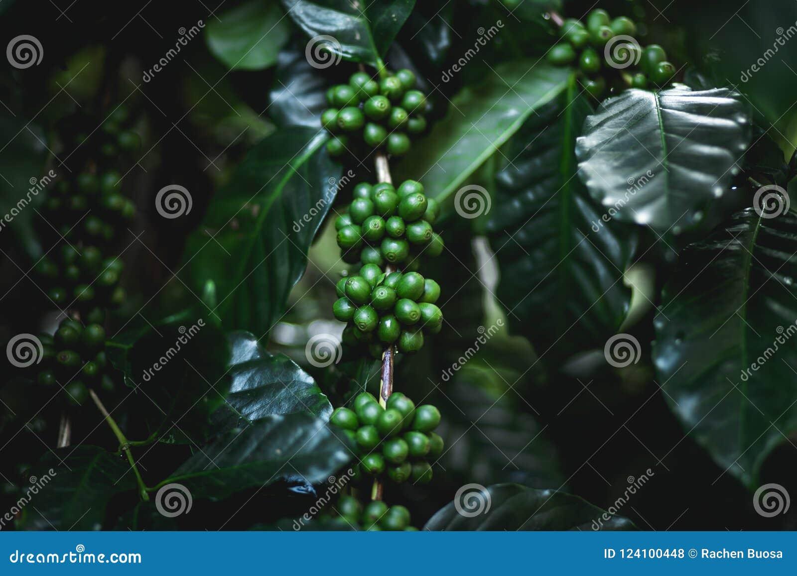 extracto de extracto de café verde himalaya