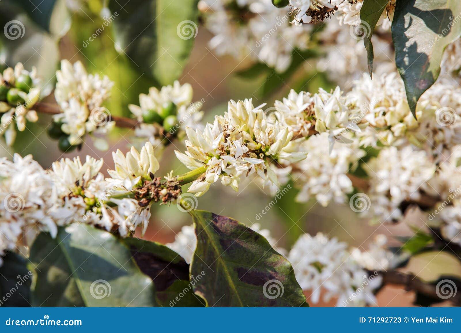 Cafeto, flor del café
