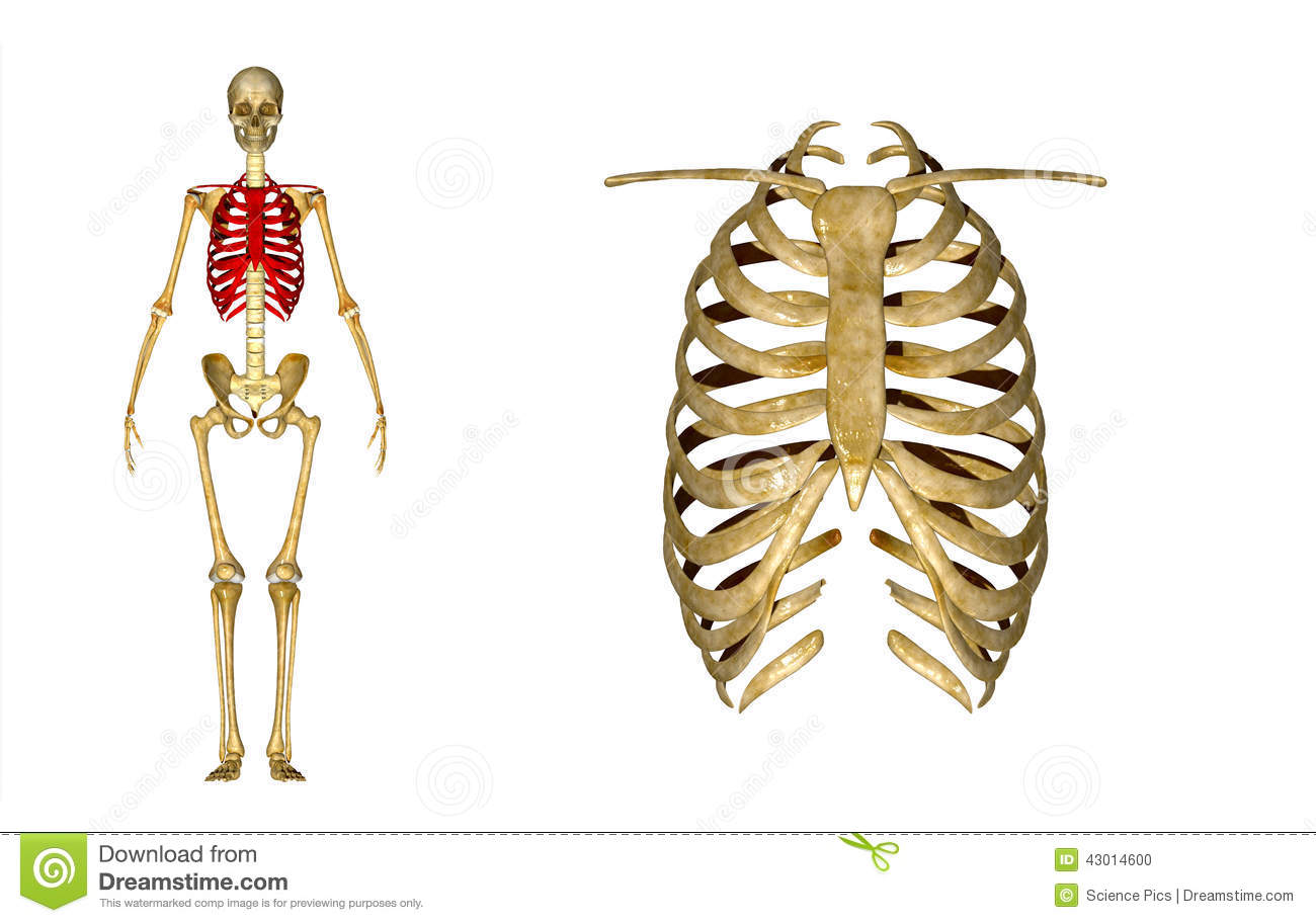 Illustration Stock Cage Thoracique Image43014600