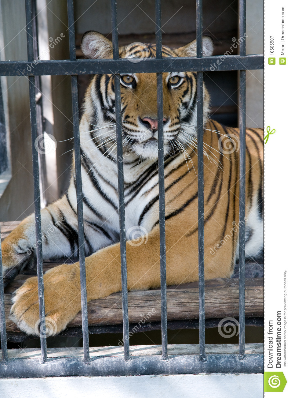Caged tiger stock image image of caged prisoner animal 10505507 - Tiger in cage images ...