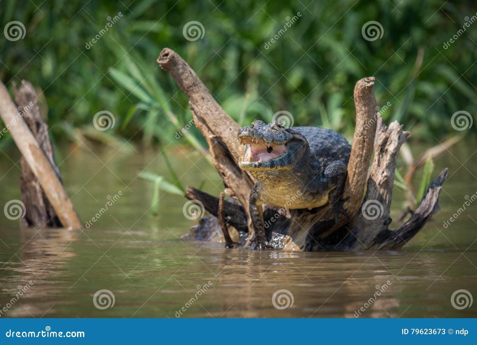 Caimão de Yacare nos logs inoperantes que abrem a boca