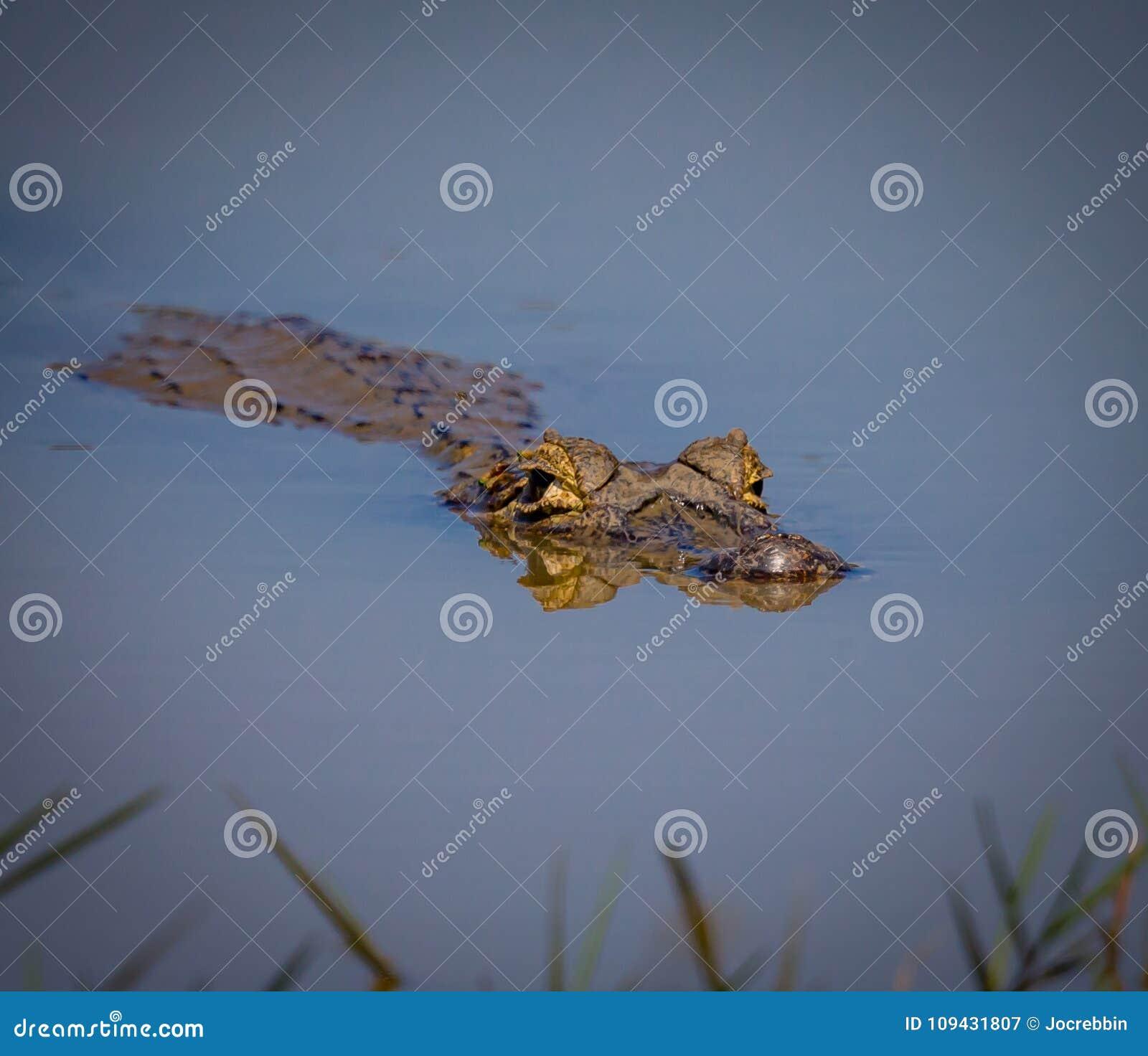 Caiman плавая на поверхность воды в Pantanal, Бразилии