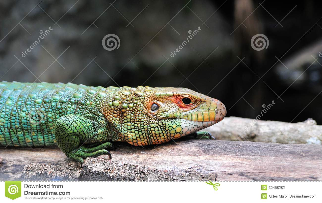 Colorful Pet Lizards Caiman Lizard Walking ...