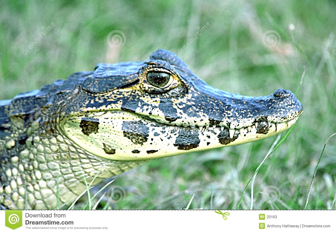 Caiman Spectacled