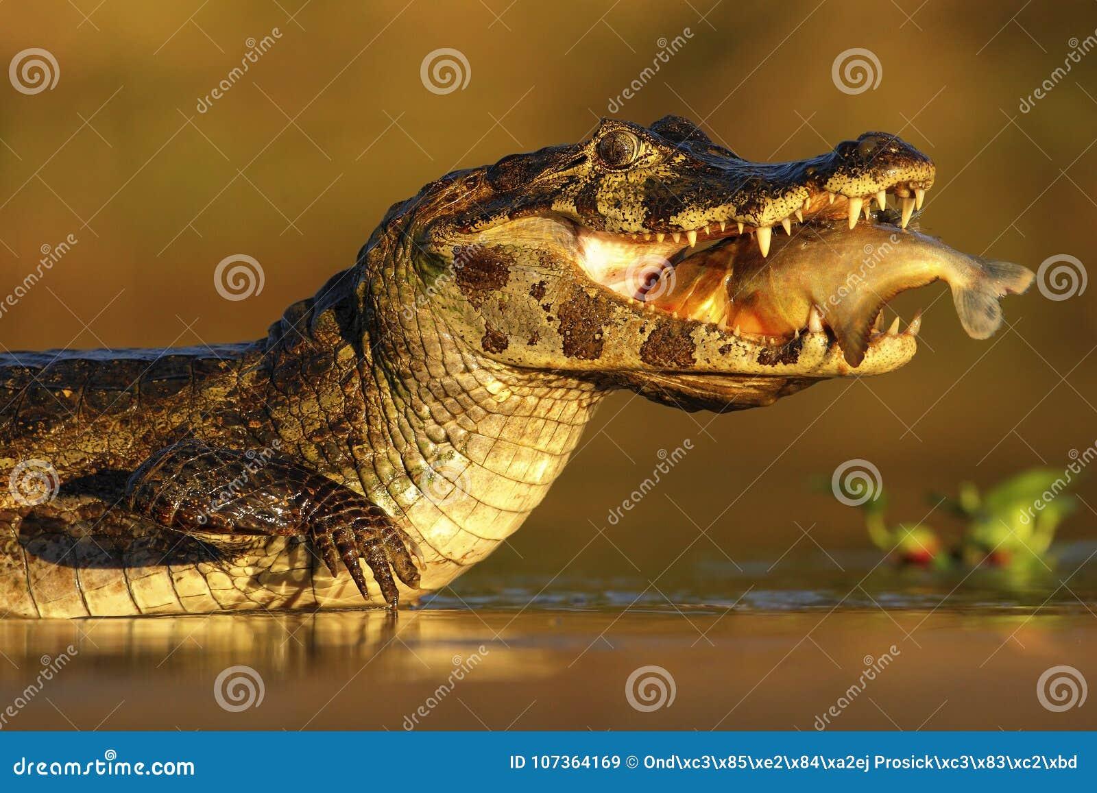 Caimano di Yacare, coccodrillo con il pesce dentro con il sole di sera, Pantanal, Brasile