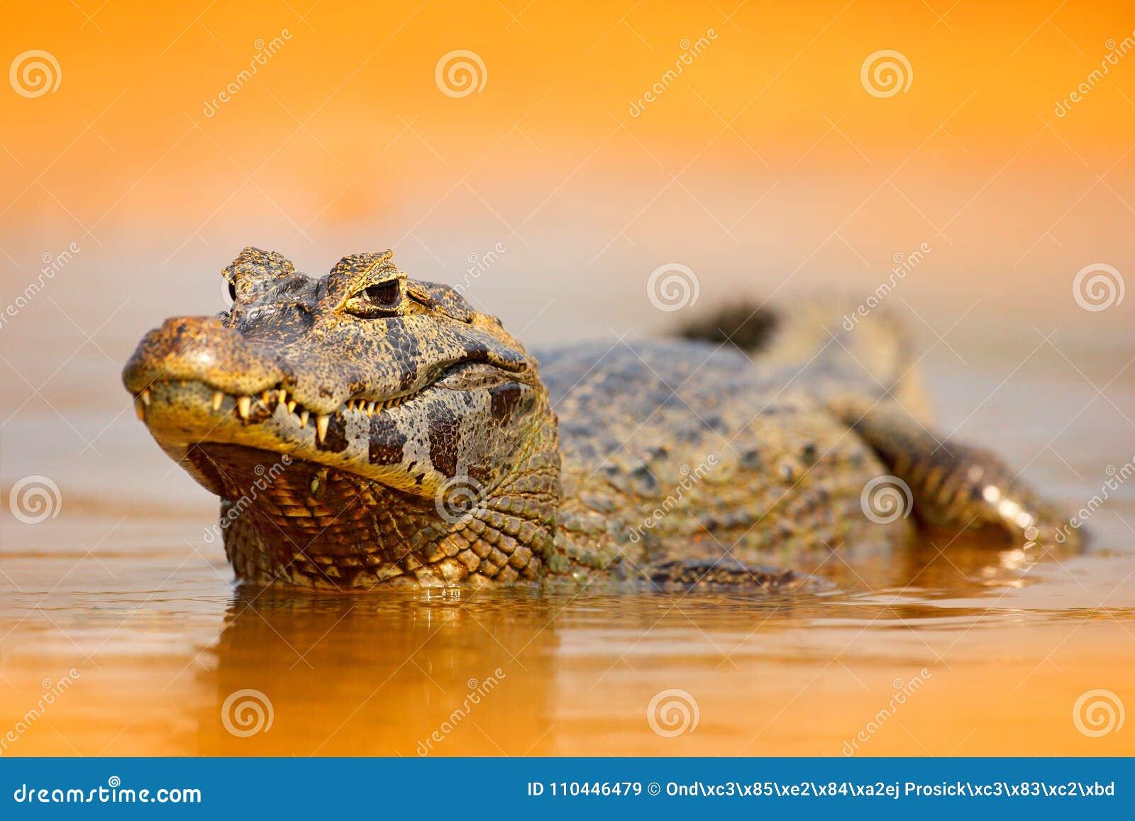 Caimano di Yacare, coccodrillo dell oro nella superficie arancione scuro dell acqua di sera con il sole, habitat del fiume della
