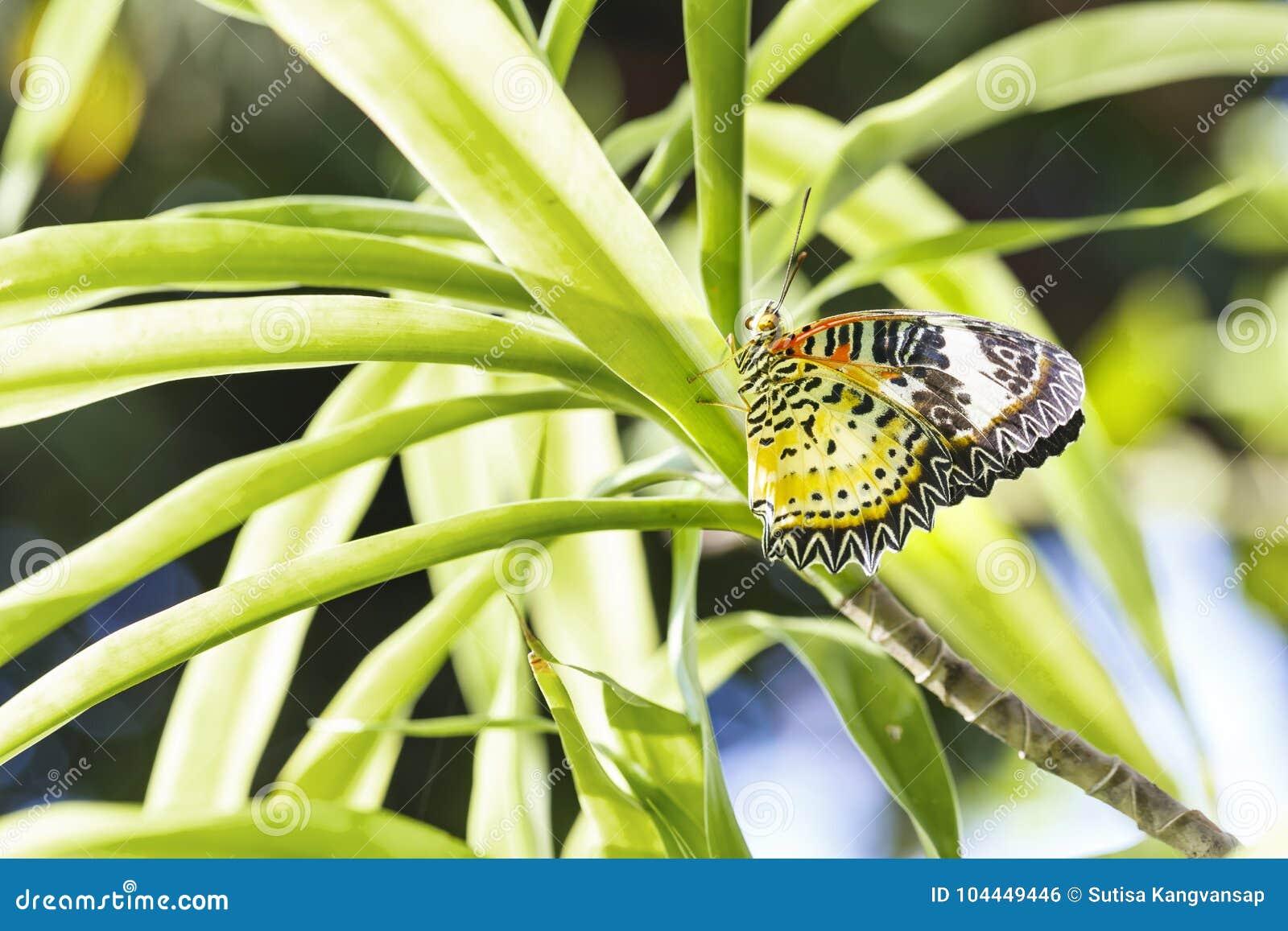 Cair fêmea da borboleta dos euanthes do cyane de Cethosia do lacewing do leopardo