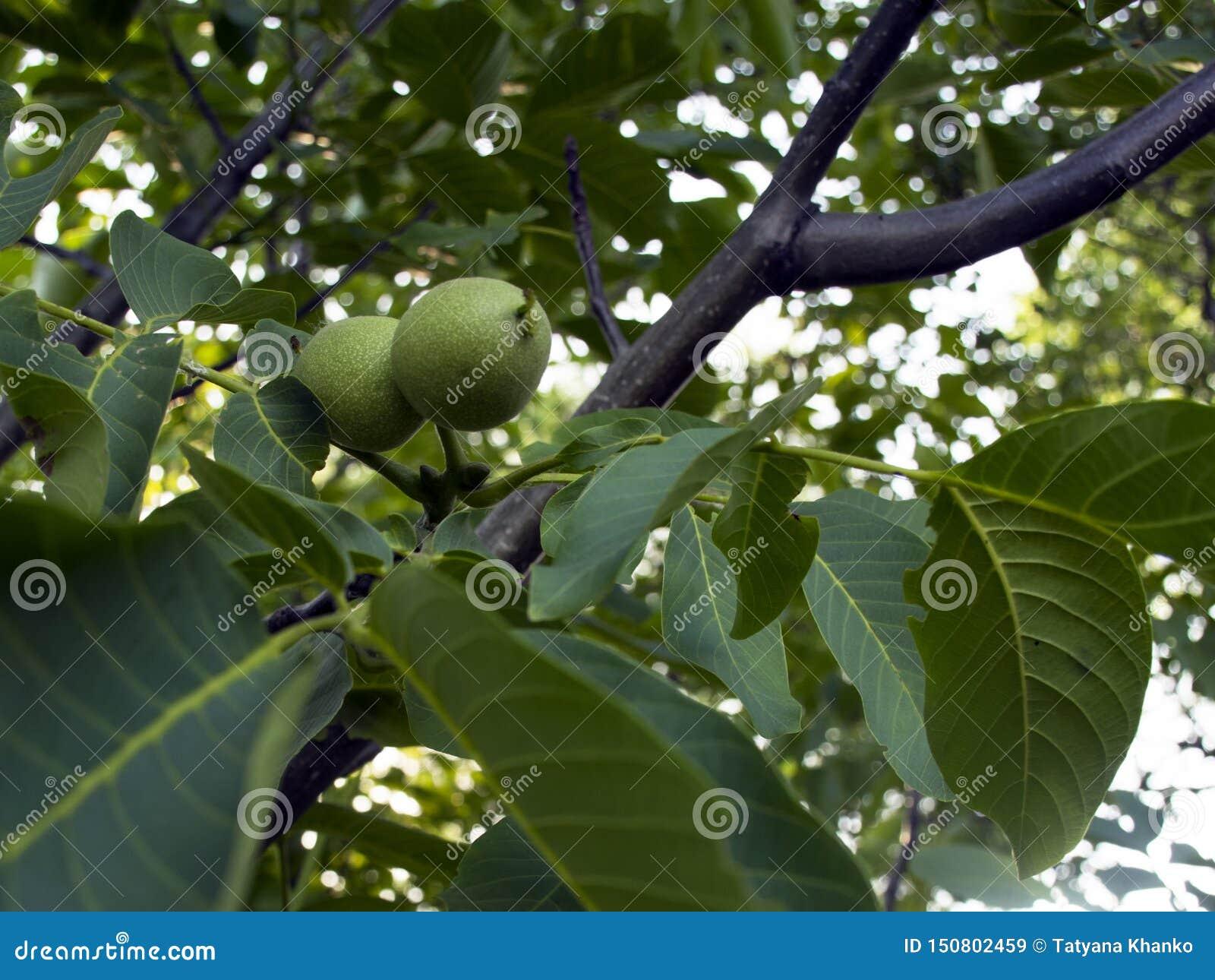 Cair verde do fruto da noz em uma árvore no jardim ?rvore de noz