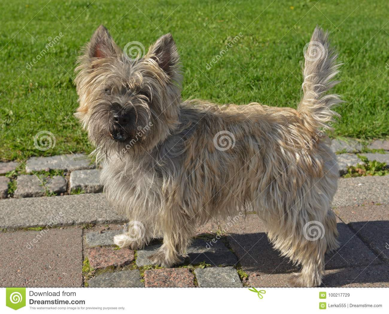 Cairn Terrier Stock Image Image Of Friend Courage 100217729