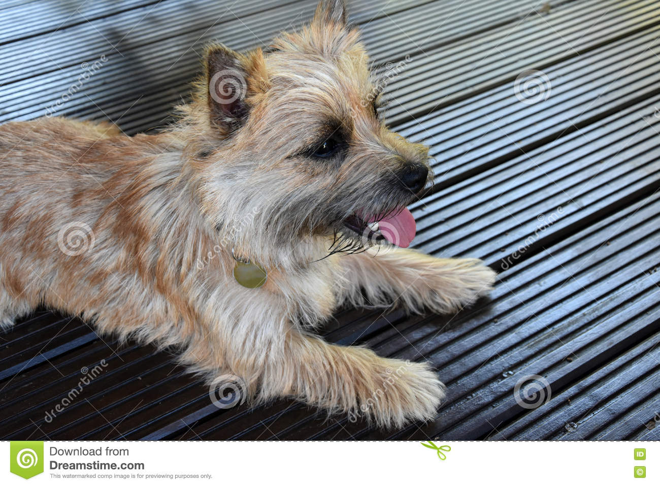 Cairn terrier stock image  Image of animal, mammals, canine - 71109915