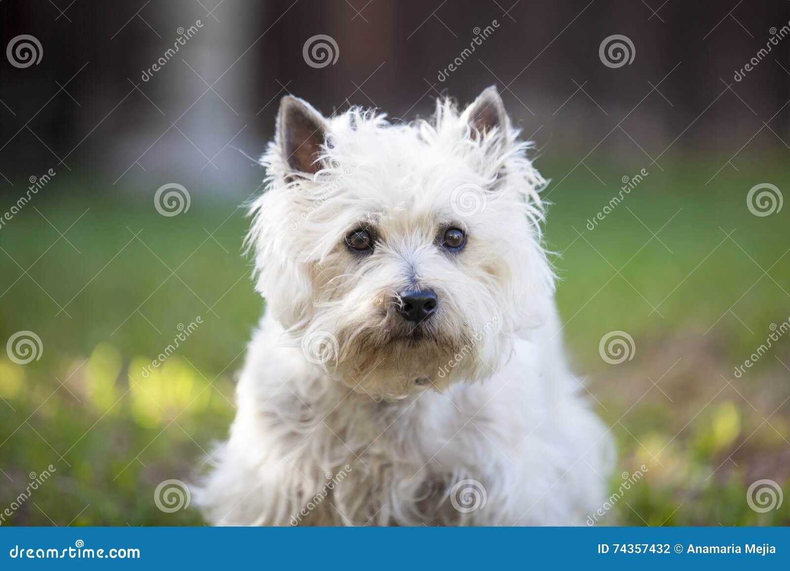 Cairn Terrier posing outdoors