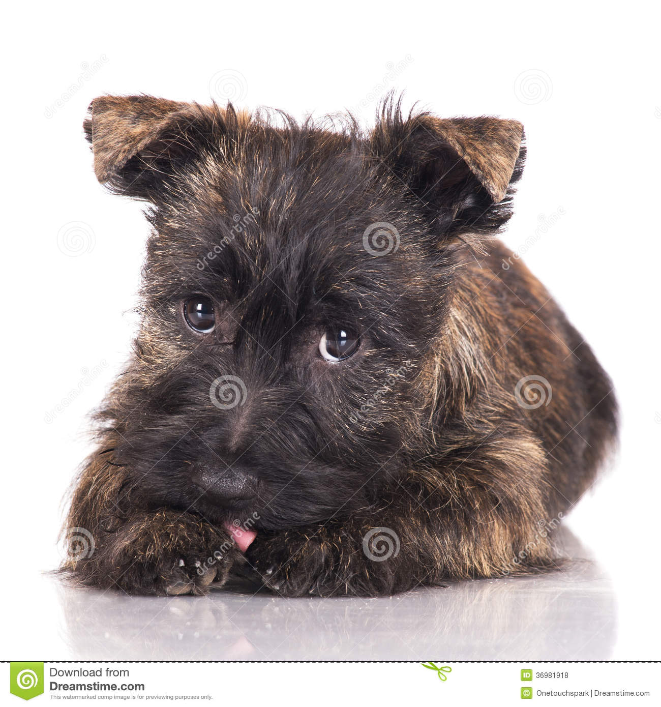 Pictures of White Cairn Terrier Puppy - #rock-cafe