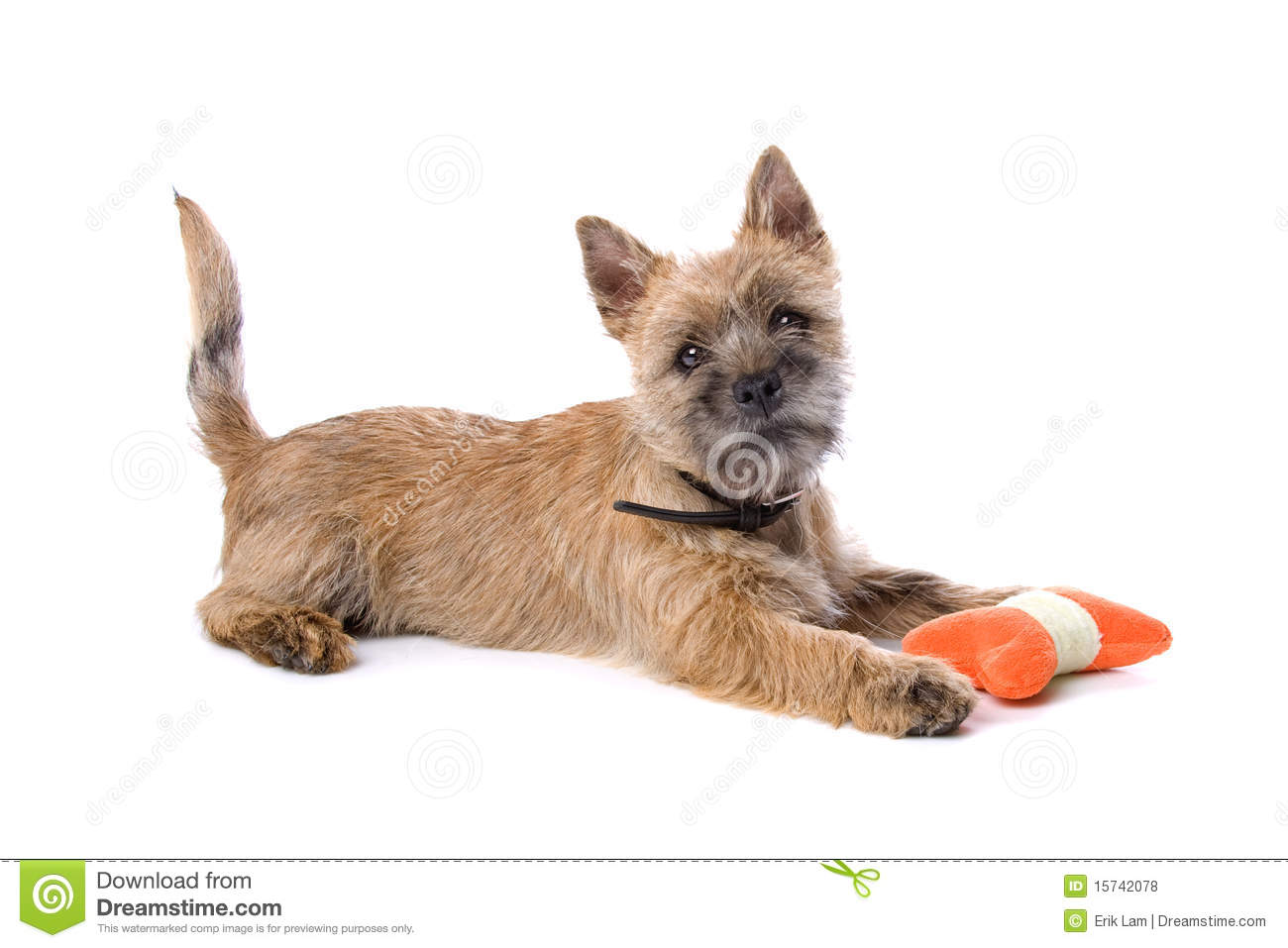 White Cairn Terrier Puppy Cairn terrier puppy playing