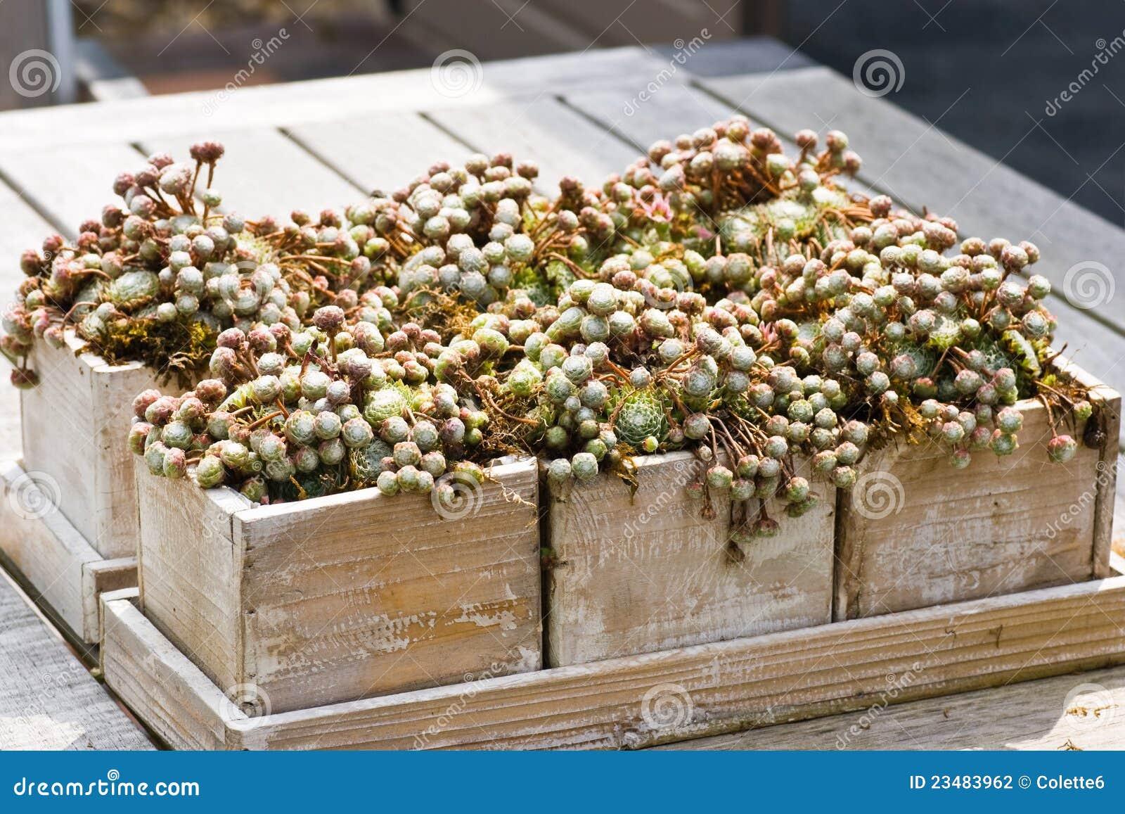 Caixas De Madeira Com Plantas De Sempervivum Fotografia de Stock  #82A229 1300x957