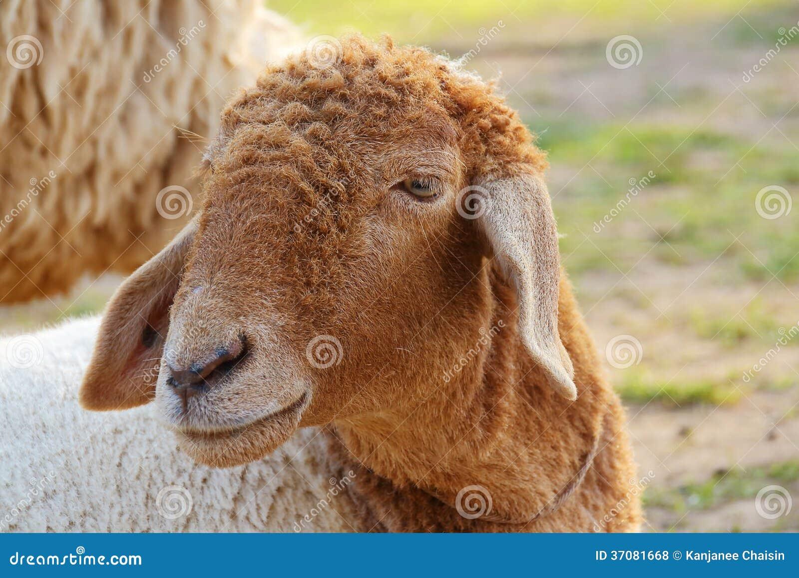 Download Cakle zdjęcie stock. Obraz złożonej z bydło, ssak, sheepfold - 37081668
