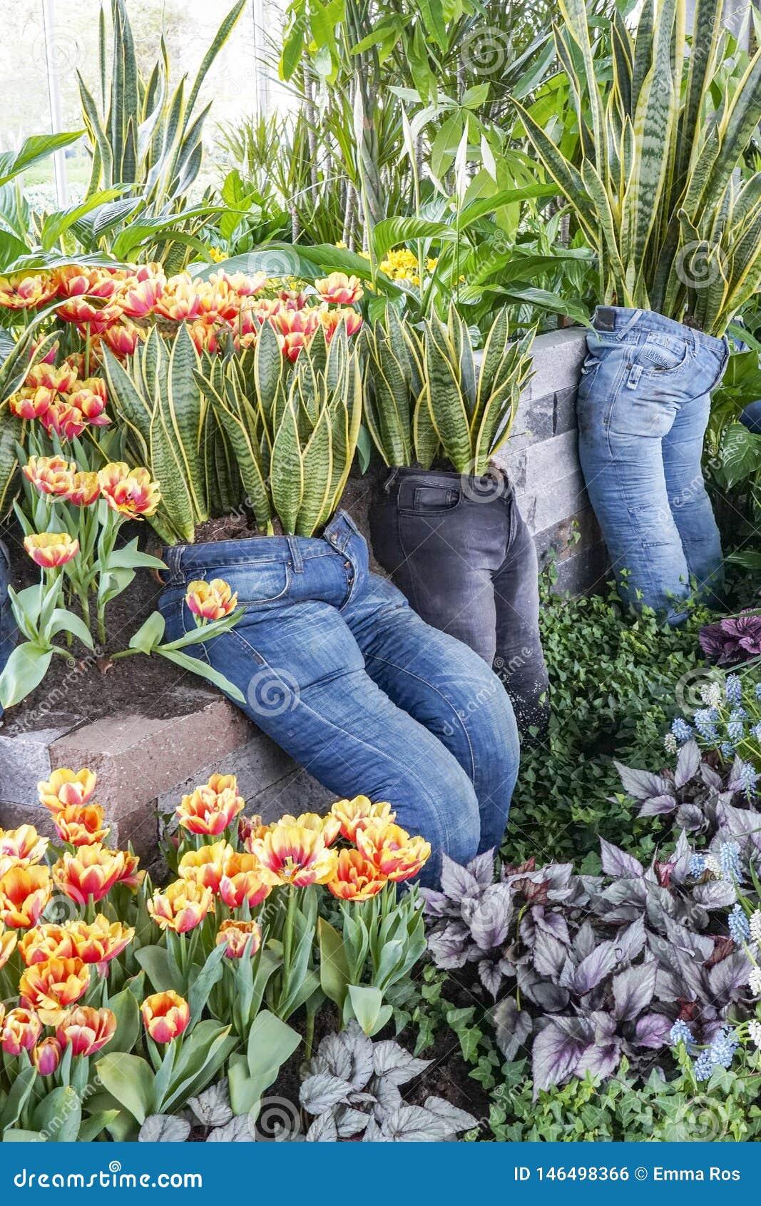 Calças longas usadas como plantadores com Sansevieria, tulipas e as várias plantas da folha