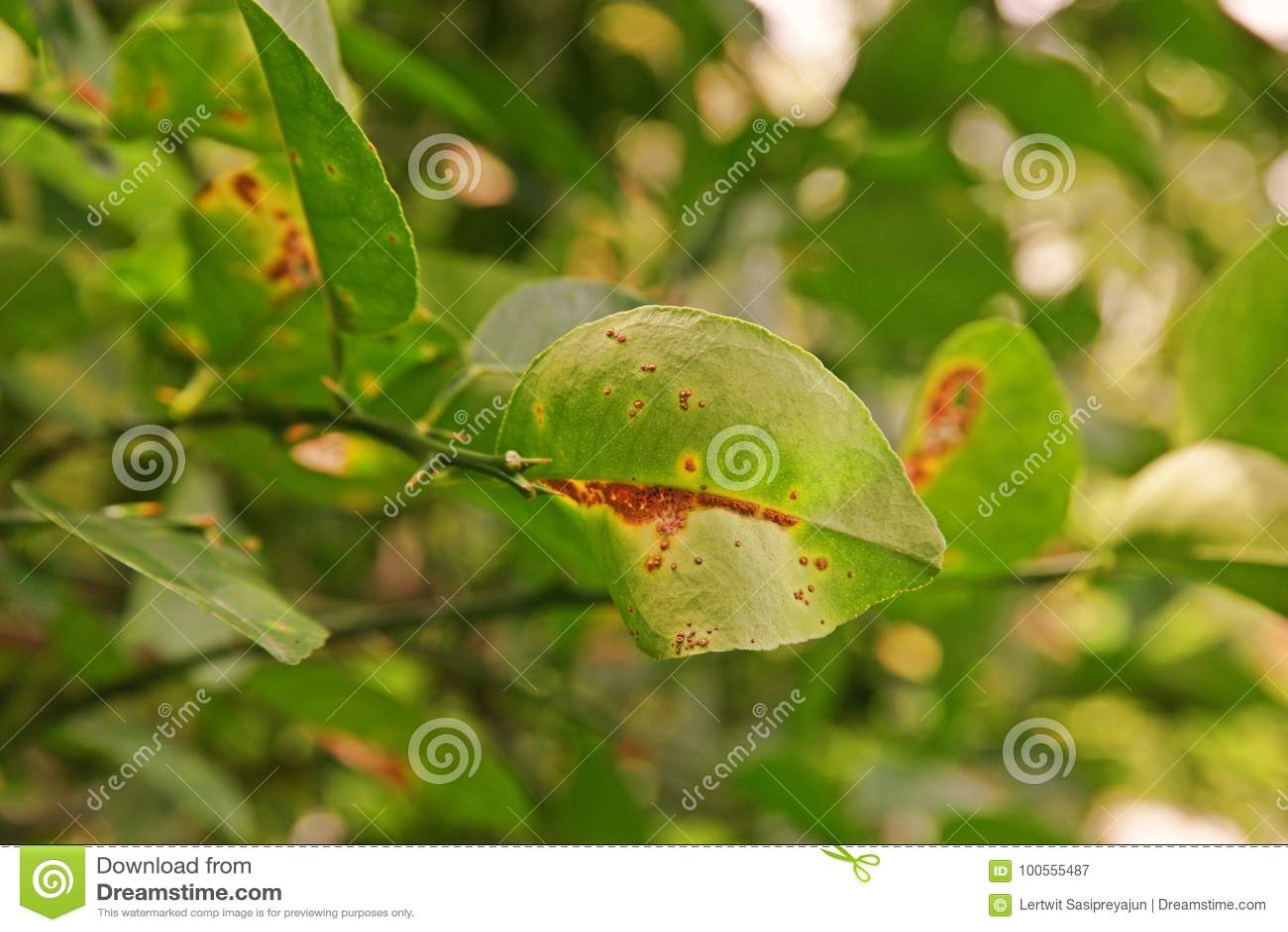 Cal, causas pelas bactérias, úlcera da doença da úlcera do limão do fruto