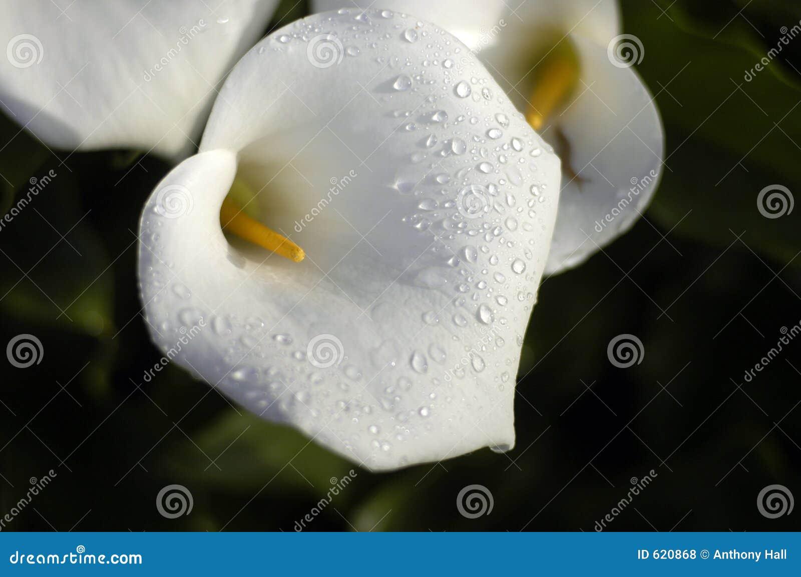 Cala lilly dauwdruppels